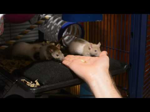 Baby Rats Eating from Jon