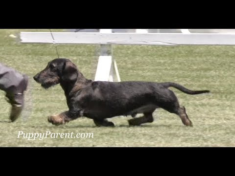 Wirehaired Dachshund Dog Show