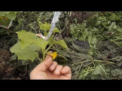 Уход за огурцами в открытом грунте