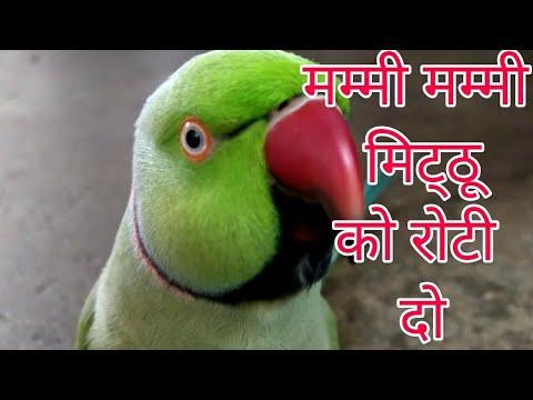 बोलने  वाला प्यारा तोता   (*.*)