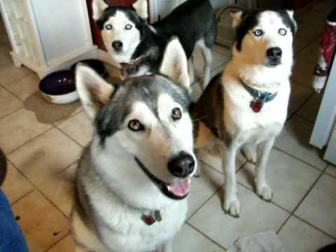 Dueling huskies / aullando perros