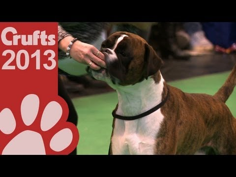 Boxer Best of Breed - Crufts 2013
