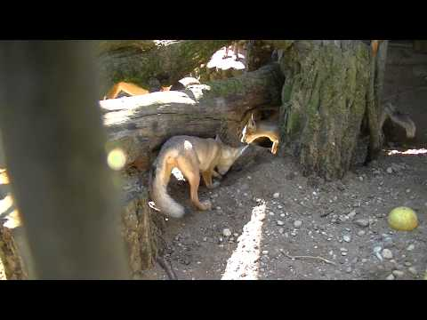 Corsac vosjes in Kaunas Zoo
