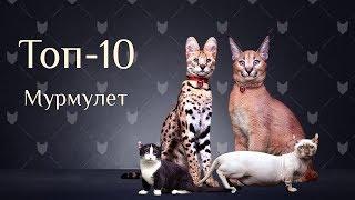 Самые дорогие и красивые кошки мира, рейтинг топ 10 от элитного питомника Мурмулет!