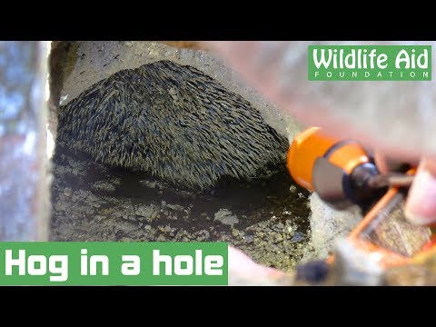 Homeowner digs up garden to rescue trapped hedgehog