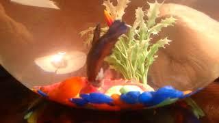 Рыба петушок и уход за ним