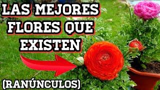 💐 Ranúnculos bellos para siempre! Cuidados de las marimonias o francesillas (Ranunculus asiatucus)