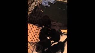 Rottweiler X German Shepard Mix Puppies