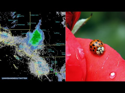 Randy Rose - Lady Bug Swarm So Big It Appears On Weather Radar