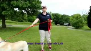 "Yellow Lab ""emma"" Before And After Video Off Leash K9 Training, Columbia"