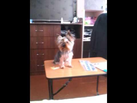 Дмитрий Соболев, дрессировка собак - YouTube