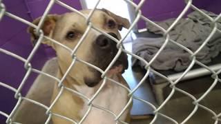 Humane Society of Southern Arizona 7-26-18 Doggie Adoptable - Gabby Kennel 29