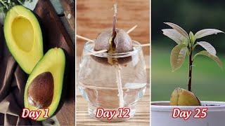 Hướng dẫn ươm hạt bơ bằng nước | Cách trồng bơ bằng hạt