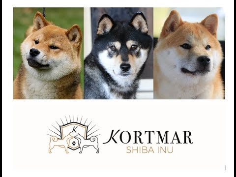 Kortmar Shiba Inu Live Stream - Emmy Bubbas