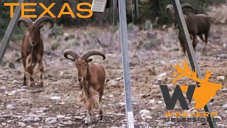 EPIC Texas Hunt - Fallow Deer & Aoudad Part One