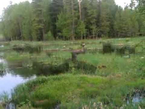 Медвежья охота на лося