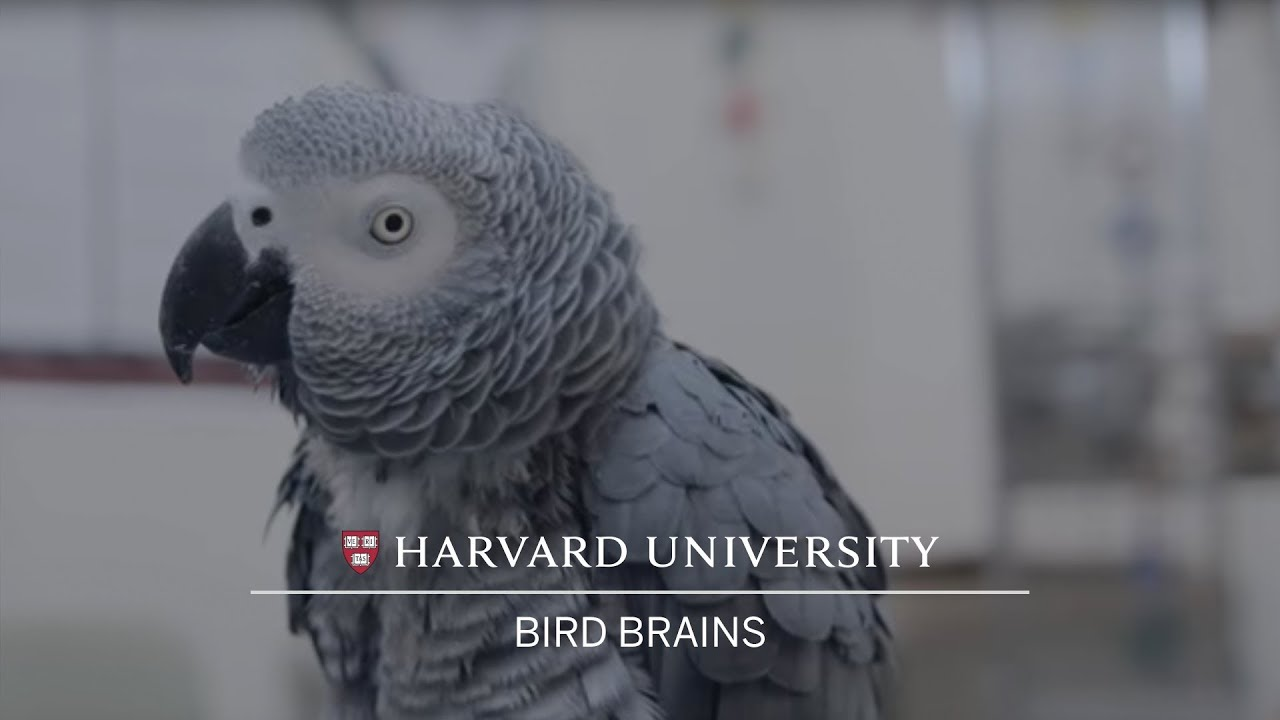 Harvard researchers test intelligence of African grey parrot