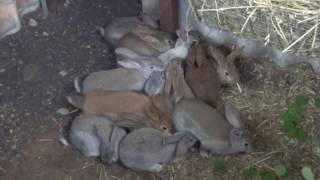 Кролики в яме часть 5 вакцинация кроликов от вгбк и миксомотоза(Кролик в яме. Кролики разведение. Вакцинация кроликов. Сегодня мы 19 июня 2016 прививали своих кроликов вакцин..., 2016-06-19T17:00:19.000Z)
