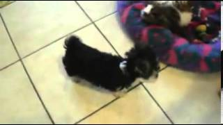 Adorable Tiny Morkie Boy WITH POTTY TRAINING!