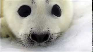 Video Baby Seals on the ice pack of the White Sea download MP3, 3GP, MP4, WEBM, AVI, FLV Juli 2018