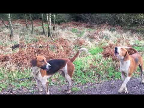 Hounds singing