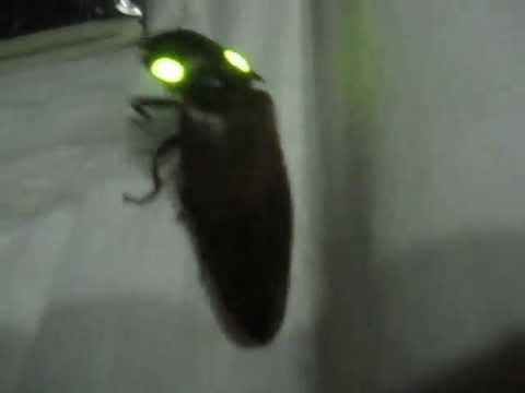 Costa Rican Click Beetle With Glowing Eyes
