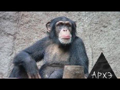 Вопрос: Какого веса может достигать самец шимпанзе?