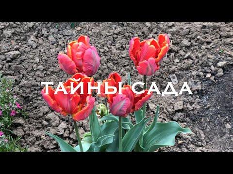 Тюльпаны, сорта которых рекомендую всем. Часть 1
