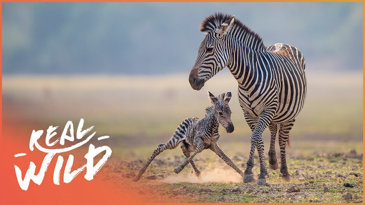 Newborn Zebra Takes Its Tentative First Steps | Natures Newborns | Real Wild