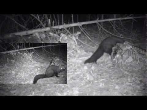 Fisher Cat in Sugar Hill NY