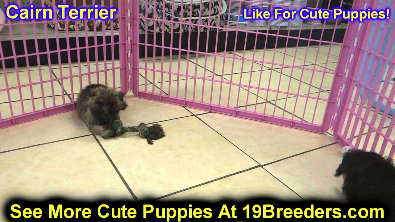 Cairn Terrier, Puppies, For, Sale, In, Baltimore, Maryland
