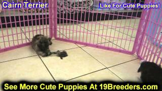 Cairn Terrier, Puppies, For, Sale, In, Baltimore, Maryland, Md, Fort Washington, South Laurel, Reist
