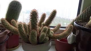 #646.Мой уход за кактусами:полив,удобрения,зимовка,освещение...