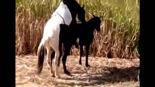 vuclip Animals Having Sex Breeding Reproducing Caballos Calientes Horses Mating ~ Best Funny Animals 2014 b