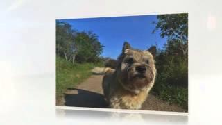 Cairn Terrier  Temperament