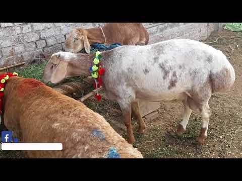 Turkey Dumbay in Lahore Bakra Mandi 2018 - Bakraeid in Pakistan