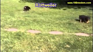 Rottweiler, Puppies, For, Sale, In, Minneapolis, Minnesota, Mn, Inver Grove Heights, Roseville, Cott