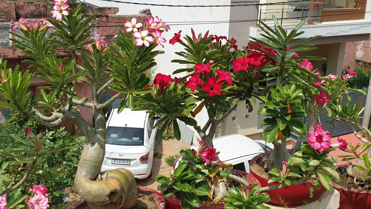 How to Prepare Adenium for Flowering after Rains || Care of Adenium after Rains || Fun Gardening