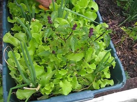 Thu Hoạch Cải Xà Lách Mỹ Salad Trồng Trong Thùng Tại Nhà ở Mỹ Thấy Mà Mê Chỉ Tốn $1 Cho Ra 4+ Chậu