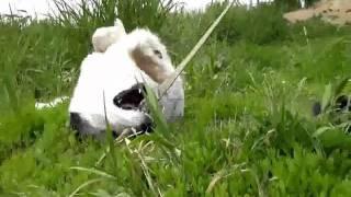 Собака Пеструшка из приюта ищет хозяина