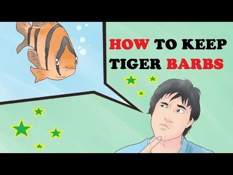 How to Keep Tiger Barbs