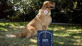 This Glowing Golden Retriever's Maternity Photo Shoot Will Make You Smile