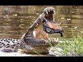 Смертельная Схватка Аллигатора И Черепахи