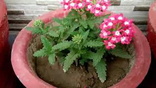वरबीना को ऐसे बनाएं घना और ज्यादा फूल देने वाला,Get more flowers on verbena,anvesha,s creativity