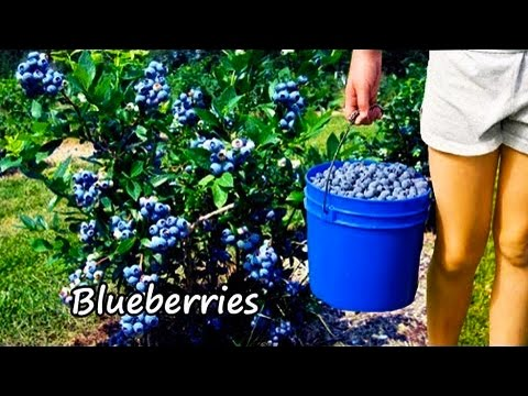 Ty Ty Nursery Buy Blueberry Plants Viva Youtube