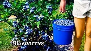 Ty Ty Nursery Buy Blueberry Plants - Viva.