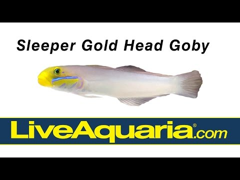 Sleeper Gold Head Goby (Valenciennea Strigata) | LiveAquaria.com