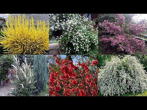 Самые неприхотливые цветущие кустарники для сада и на даче | морозоустойчивые | засухоустойчивые | морозостойкие | декоративные | неприхотлив | кустарники | цветущие | растения | красивые