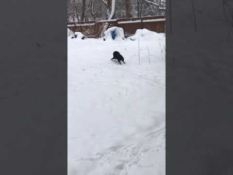Schipperke running in fresh snowfall