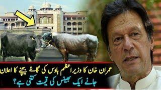 Imran Khan Ready To Sale PM House Eight Milk Cows   Imran Khan Sale Cows After Pm House Cars